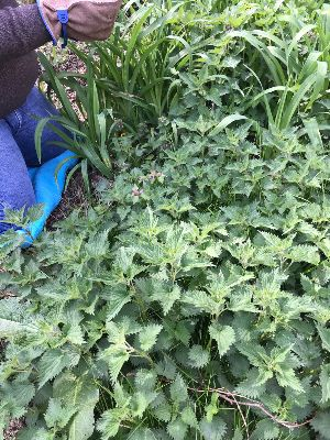 Read more about the article Oh Nettles, How I love thee.