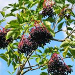Cailleach's Fruit-Shelf Stable Elderberry Syrup